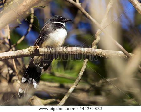 Image of magpie perched on tree branch. in forest Thailand.