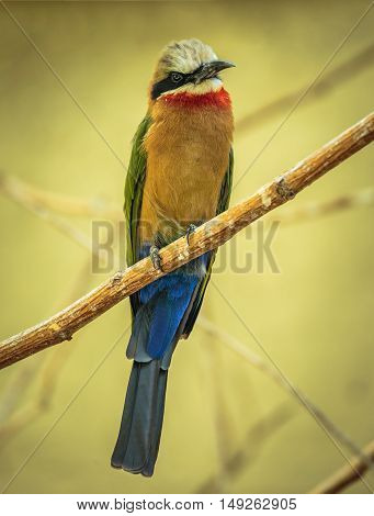 Bee Eater (merops Apiaster)