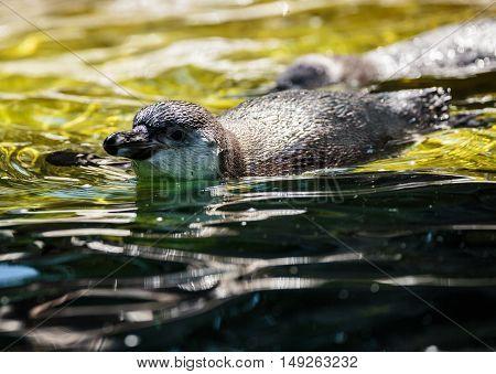 African Penguin Summer