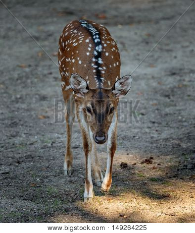Chital Deer (axis Axis)