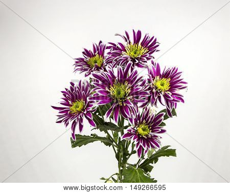 flowers purple chrysanthemum bouquet on white background.