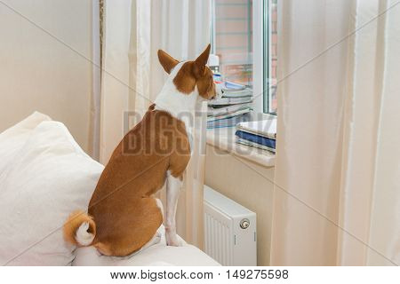 Cute Basenji is waiting by the window for the master return home