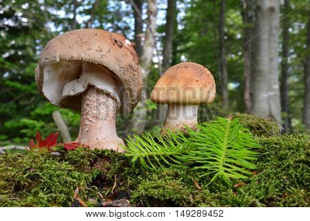Two healthy and good looking Blusher mushrooms or Amanita rubescens on a moss in beech forest with green fir twig and red oak leaf