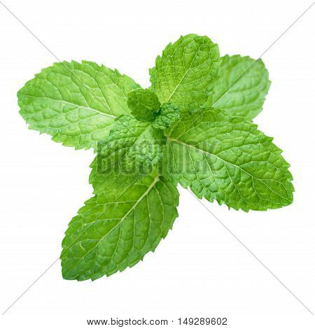 Fresh raw mint leaves isolated. Mint leaves on white background. Green mint leaves. Mint leaves clean. Mint leaves from Thailand. Fragrant mint leave. Combination of mint toothpaste. Eight mint leaves