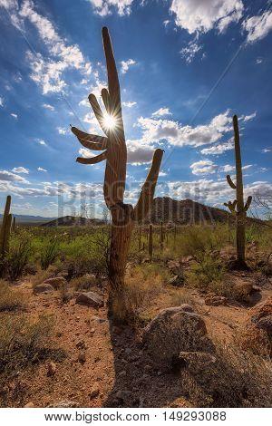 Sunset at Saguaro cactus in Saguaro national park, Arizona
