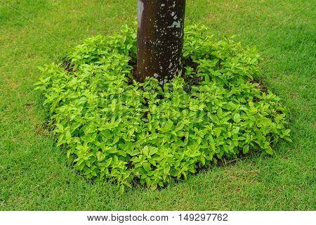 fresh green holy basil in the garden