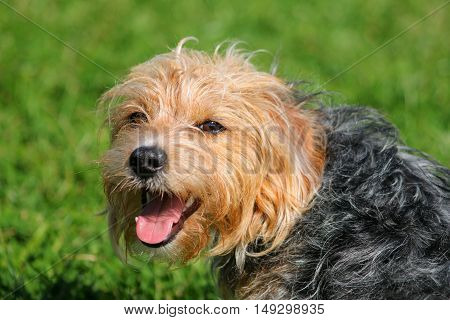 A black and tan terrier dog panting