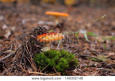 two red mushroom amanita in the pine needles