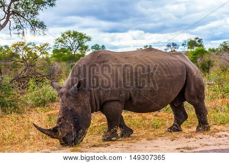 South Africa, Kruger National Park. Huge rhino peacefully nibbling the grass on side of the road