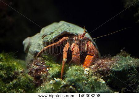 Hermit crab (Pagurus prideaux). Wild life animal.