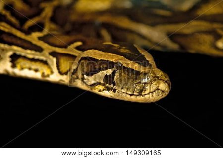 Royal boa snake isolated on black background