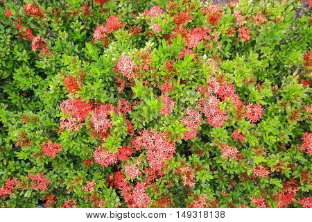 Red spike flower.King Ixora blooming (Ixora chinensis).Rubiaceae flower, Ixora coccinea