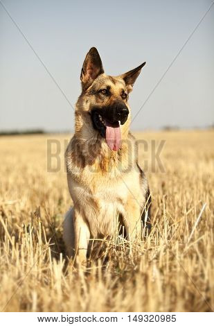 a beautiful German shepherd sitting happily in a field and looks around