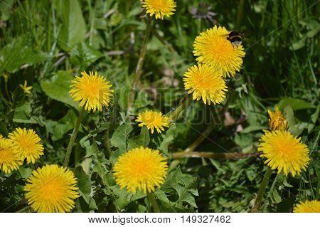 Fresh leaves, flowers of dandelion and bee