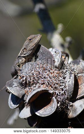 Australian native Jacky Dragon lizard (Amphibolurus muricatus) resting on a Banksia serrata cone in eucalypt forest, Royal National Park, Sydney, Australia