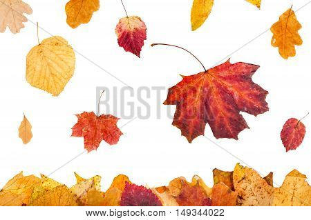 Yellow And Red Leaves Falling On Leaf Litter