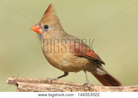 Female Northern Cardinal (cardinalis) on a branch