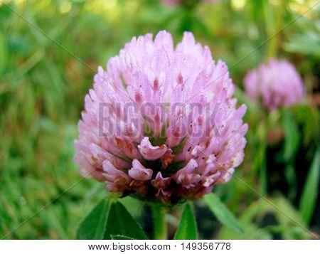 red clover is a genus of plants of the Legume family