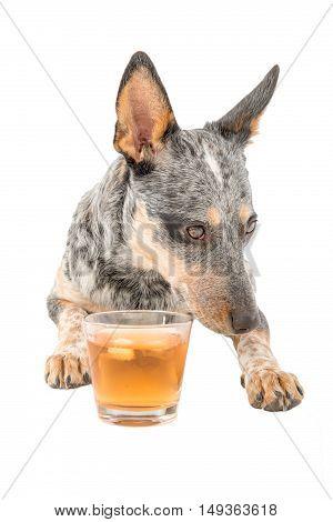 Blue Heeler puppy enjoying a glass of schotch whiskey isolated on white