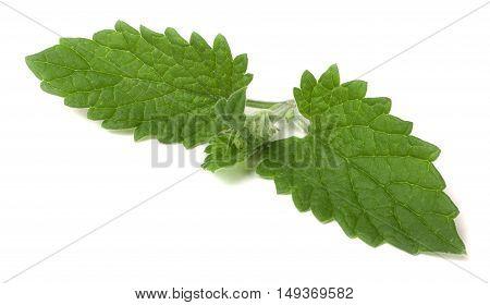 of lemon balm leaf isolated on white background.
