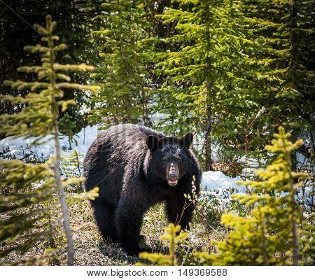 encounter with a black bear in Jasper National Park Alberta Canada