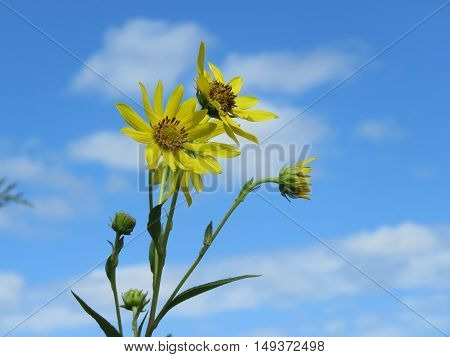 Cup plant (Silphium poroliatum) located in Cape May Point State Park