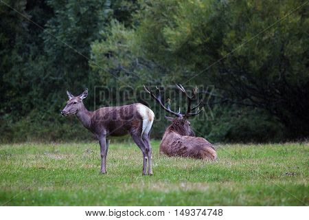 A female deer in the foreground and background on the male resting on the lawn.