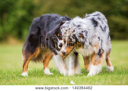 Two Dogs Fighting For A Food Bag
