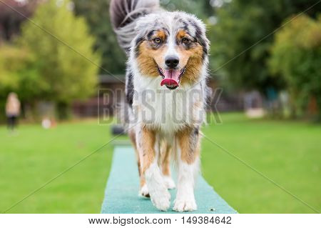 Dog Walks On A Plank Of An Agility Parcours