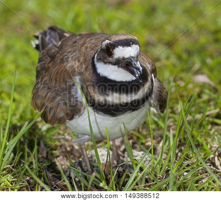 Killdeer standing over its eggs and nest during photos