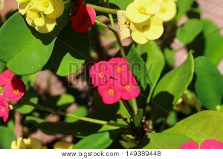 A pink flowered euphorbia milii plant next to a yellow flowered euphorbia milii plant.