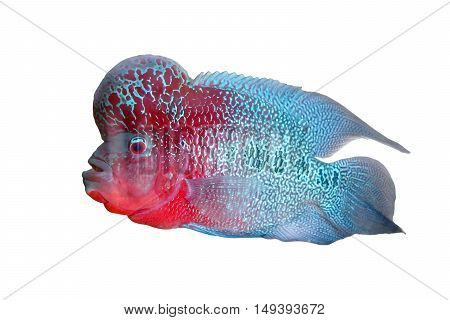 Cichlidae / Flowerhorn Crossbreed Fish isolated on white