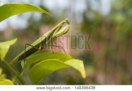 Green Praying Mantis Mantis religiosa sitting on a leaf in its typical pose waiting for insects to catch them. Outisde of Europe this species is also called European Mantis.