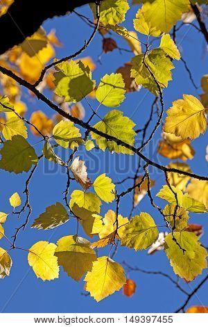 Yellow leaves and blue sky in Spokane Washington.