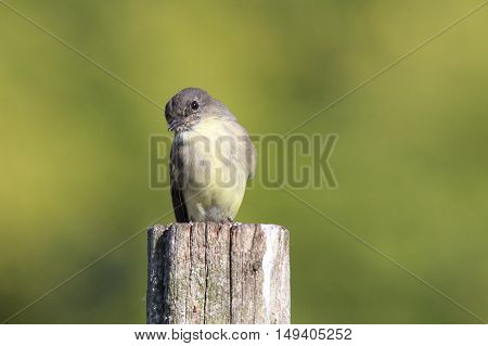 An eastern phoebe (Sayornis phoebe) sitting on a post in Fall.