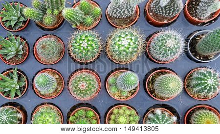 Cactus plant in the pot,Various cactus plants of small cactus in the red pot