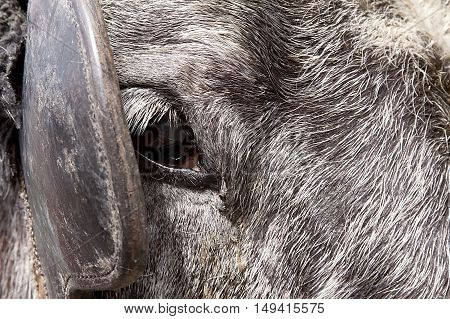 Close up of right eye and blinder of a greying old horse of the carriage tours offered at Stanley Park on a bright, sunny spring day.