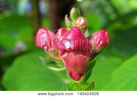 Close up of a red snap-dragon flower bud