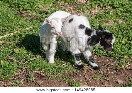 Newborn White And Brown Goat Nannie