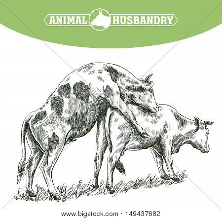 sketch of cow drawn by hand on a white background. livestock. cattle. zoogamy