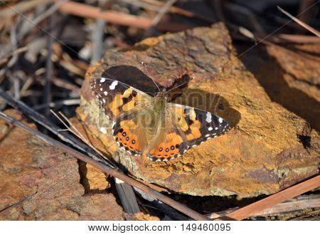 Australian Painted Lady Butterfly, Vanessa kershawi, Royal National Park, Sydney, Australia