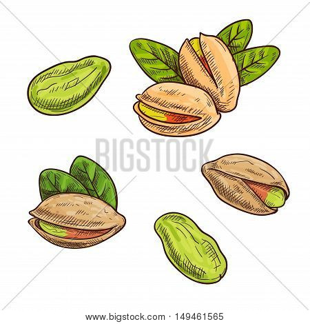Pistachios. Isolated whole and split pistachio nuts and kernels. Vector sketch pistachio element for product label, packaging sticker, grocery shop tag, farm store