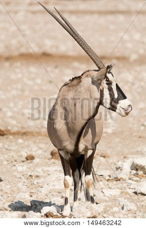Single Oryx Gazella (gemsbok) At Articicial Waterhole