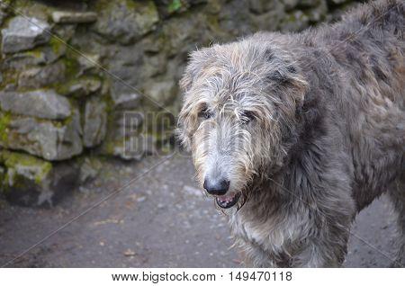 Scruffy grey Irish wolfhound standing outside a castle in Ireland.