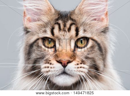 Portrait of domestic black tabby Maine Coon kitten - 5 months old. Close-up studio photo of striped kitty looking at camera. Focus on eyes. Cute young cat on grey background.