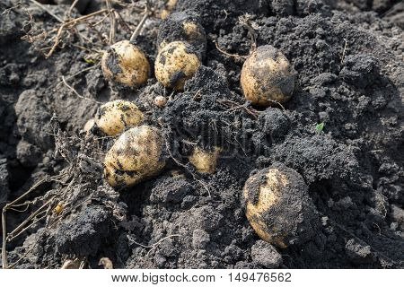 Freshly dug potatoes lying on the ground