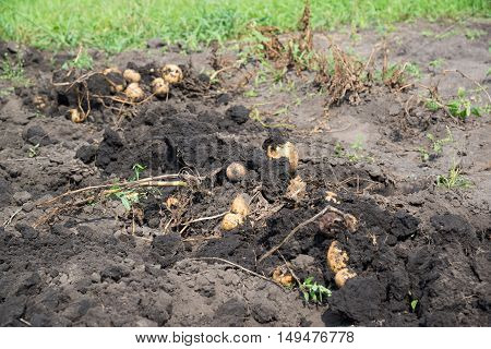 Freshly dug potatoes lies on a bed