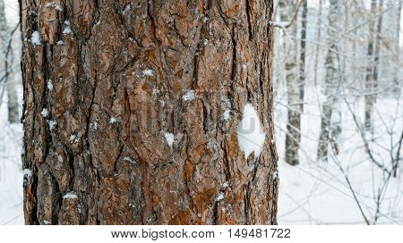 Pine trunk in winter forest after snow storm