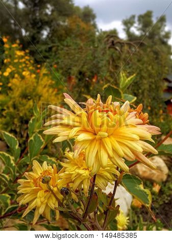 It is time for of flowering of autumn colors. Flowering autumn chrysanthemums.