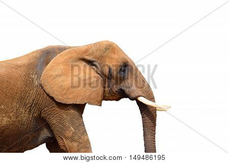 close up of elephant animal head and tusks